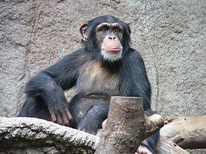 Gemeiner Schimpanse (Pan troglodytes)