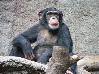 Schimpans, ett av många djur.