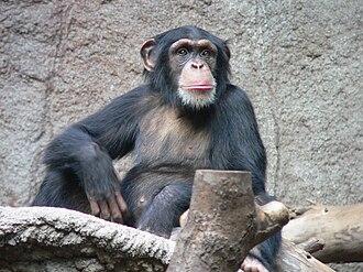Diurnality - A chimpanzee, a diurnal simian.