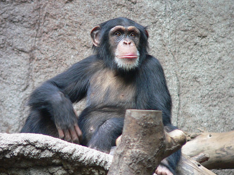 Schimpanse Zoo Leipzig.jpg