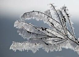 Schneekristalle wachsen am Strauch