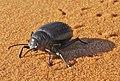 Schwarzkäfer Sahara Tenebrionidae 2.jpg