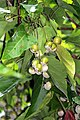 Scientific Name Mallotus nudiflorus., Family Euphorbiaceae., Common Name False White Teak., Malayalam. നീര്ക്കടമ്പ്, പമ്പരക്കുമ്പിള്. (38213053762).jpg