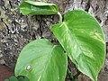 Scindapsus aureus-yercaud-salem-India.jpg
