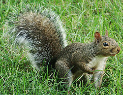 squirrel  simple english wikipedia the free encyclopedia squirrel