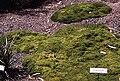 Scleranthus biflorus.jpg