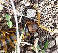 Scolopendra cingulata. Large centipede. - Flickr - gailhampshire.jpg