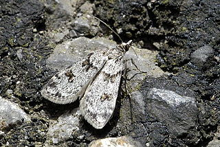 Crambidae Family of moths