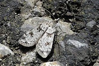 Crambidae - Scoparia ambigualis