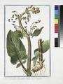 Scrophularia aquatica major - Scrophularia maxima radice fibrosa - Scrofolaria acquatica - Scrofulaire (NYPL b14444147-1125119).tiff
