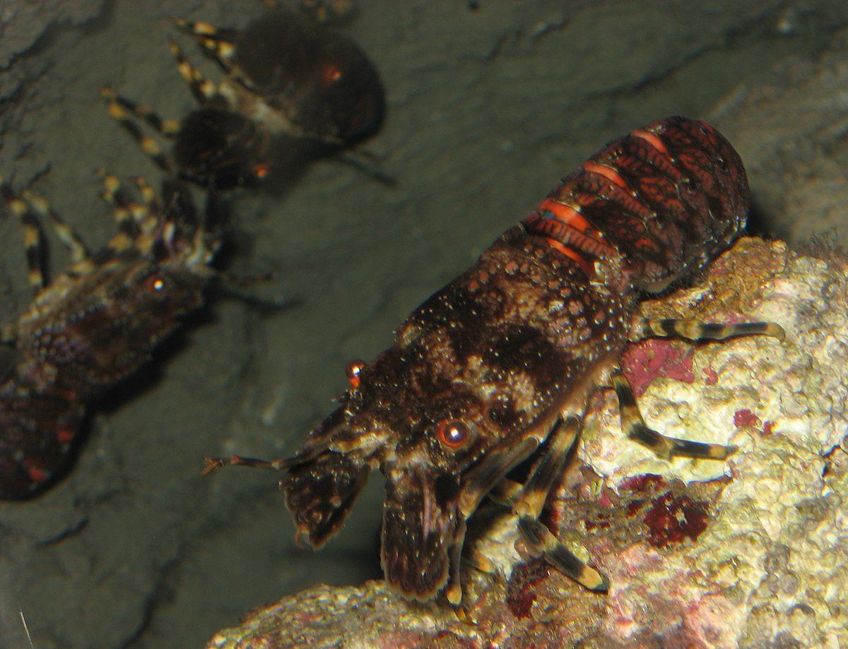 scyllarus arctus wikipedia