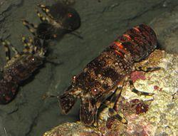 Scyllarus arctus 2 by Line1.jpg