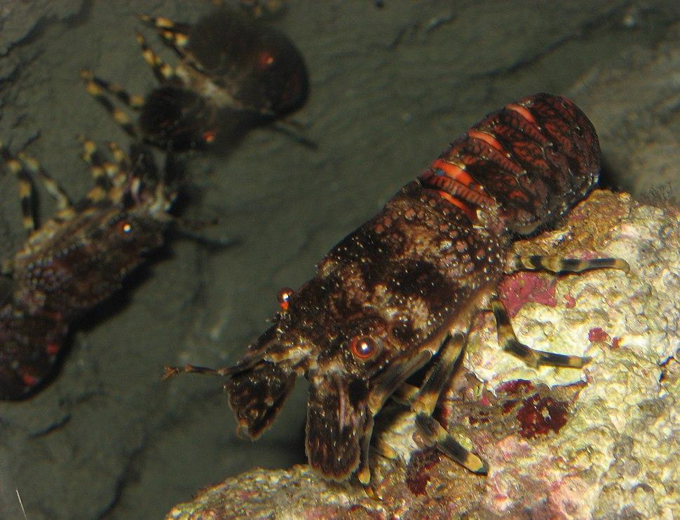 Scyllarus arctus 2 by Line1