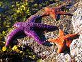 Sea Stars sunning (1368405311).jpg