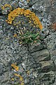 Sea plantain and lichens at Kincraig volcano (10115888725).jpg
