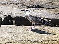 Seagull in Rovinj 05.JPG