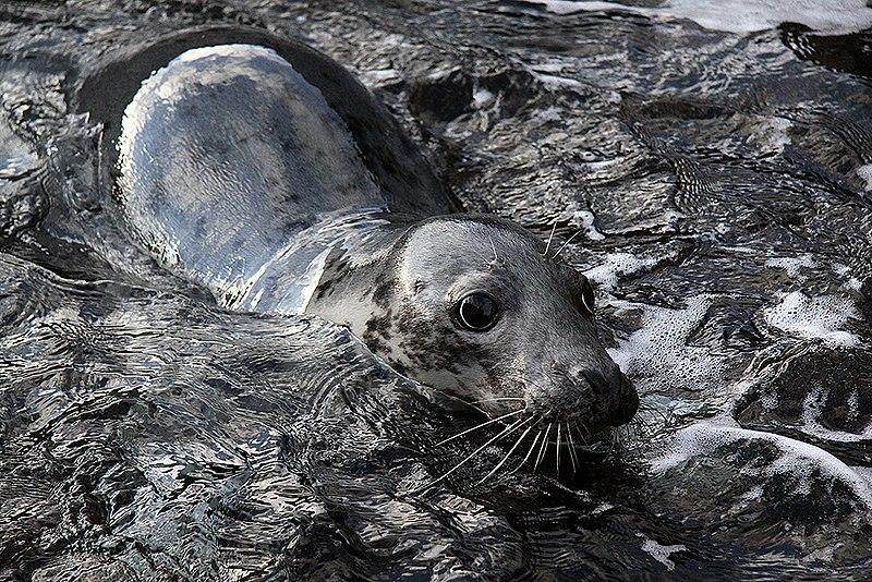 File:Seal on the westside of Suðuroy - panoramio (1).jpg