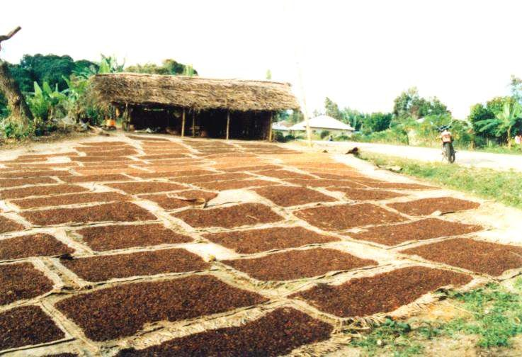 Seasonal clove buds drying on Pemba1