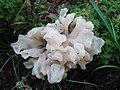 Sebacina sparassoidea (Lloyd) P. Roberts 447107.jpg