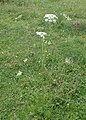 Selinum carvifolia kz08.jpg
