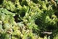 Sempervivum calcareum Nigricans in Jardin botanique de la Charme.jpg