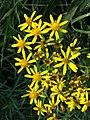Senecio sarracenicus sl15.jpg