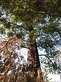 Sequoia sempervirens-Jardin des plantes 02.JPG