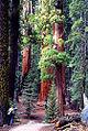 Sequoiaxxxx.jpg