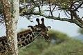 Serengeti, Tanzania (2314520801).jpg
