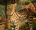 Serval-5.jpg