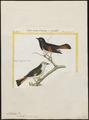Setophaga ruticilla - 1700-1880 - Print - Iconographia Zoologica - Special Collections University of Amsterdam - UBA01 IZ16300067.tif