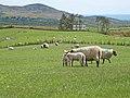 Sheep at Aghameen - geograph.org.uk - 446756.jpg