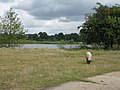 Sheep may safely graze beside the lakes of the Wensum - geograph.org.uk - 527947.jpg