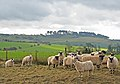Sheep on ridge of Bokerley Ditch - geograph.org.uk - 348268.jpg
