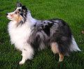Shetland Sheepdog Picture