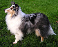 ShetlandShpdogBlue2 wb.jpg