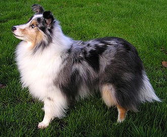 Shetland Sheepdog - Blue merle Shetland Sheepdog