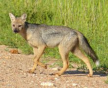 Side-striped Jackal (Canis adustus)- rare sighting of this nocturnal animal ... (13799300905).jpg