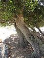 Sideroxylon inerme South African Milkwood bark and trunk IMG 4872.JPG