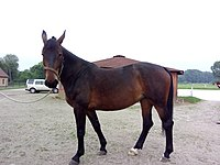 Silesian horse mare 4 yo.jpg