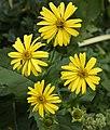 Silphium perfoliatum L. (8073308908).jpg