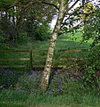 Silver birch and bluebells - geograph.org.uk - 1332543.jpg