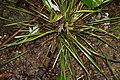 Sisyrinchium angustifolium 1zz.jpg