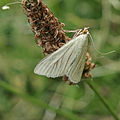 Sitochroa palealis moth (9523695634).jpg