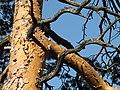 Skógarfura (Pinus sylvestris) - Trjábörkur - Wachthüttelkamm (Rax).JPG