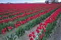 Skagit Valley Tulip Festival (14).jpg