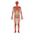 Skeletal System.png