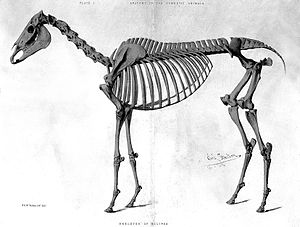 Eclipse (horse) - Skeleton of Eclipse
