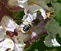 Small Carpenter Bee. Ceratina sp. female on Orobanche (32117570162).jpg