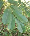 Small Margaritaria discoidea leaves Ilanda.JPG
